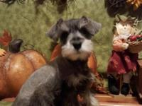 I have 5 female registered schnauzer puppies. The