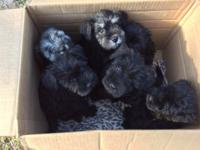 We have both girls and boys Miniature Schnauzer puppies