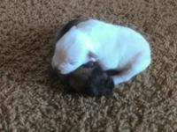We have pure type baby schnauzer young puppies 1 white