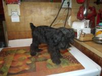 2 CKC Miniature Schnauzer male puppies for sale. One
