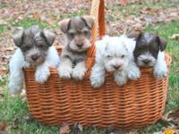 Purebred Toy & Small Miniature Schnauzer Puppies  We