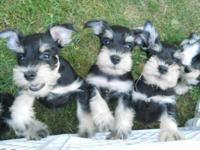 Moms and dads are both AKC Blk/Slv Miniature Schnauzer.