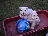 Adorable White Miniature Male Schnauzers, taking
