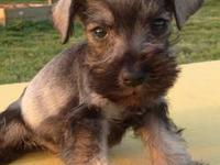 I have an adorable Mini Schnauzer black male and