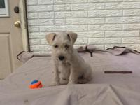 Miniature Schnauzer Puppy : We have one 8 week old male