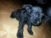 AKC registered mini schnauzer pupppy boy last one left.