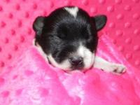AKC registered black parti female. Will come with age
