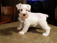 Max is a GORGEOUS white Miniature Schnauzer male. He is