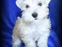 Handsome is a wonderful super coated Wheaten/Sable Mini
