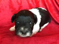 Alex is a black and white parti miniature schnauzer.