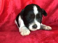 Junior is a black and white parti miniature schnauzer.