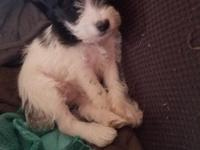 Black and White Parti Female. Up to date on shots and