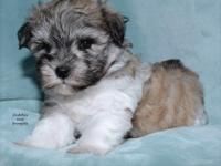 Adorable, Chubby megacoated AKC mini schnauzer. This