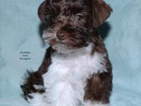 Adorable Megacoated Dark Liver and white Parti Akc