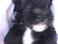 Miniature Schnauzer Male Puppy for sale in Bardstown,