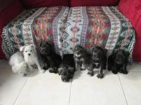Pure bred mini schnauzer pups, born 11/29/13 prepared