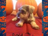 CKC registered miniature schnauzer puppies for males
