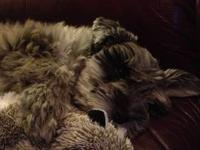 Cute, fluffy, Schnauzer for sale. Rigley is almost 4