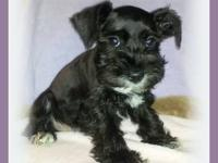 Beautiful miniature schnauzer puppies for sale in