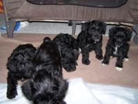 we have 5 puppies for sale black some with white feet