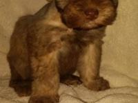 I have miniature schnauzers for sale. They Will be 7