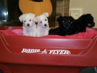 4 miniature schnauzer girls for sale. Tails docked, dew