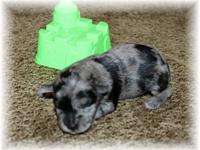 Two beautiful litters to choose from. Rare Blue Merle,