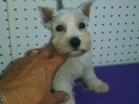 9 weeks old. Males and females available. Very sweet.