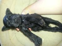 ACA BABY SCHNAUZERS. ... 4 males neglected of a trash