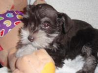 I have 3 cute plaything size miniature schnauzers. All