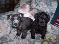 Adorable Schnoodle puppies ready for their new homes on