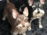 Miniature Schnauzer. Females. One Chocolate. Green