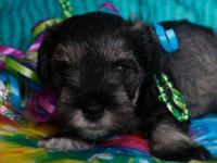 Miniature schnauzer. APR registered 5 week old puppy.