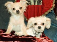 Tiny/Miniature Shorkie, male (left puppy!) 4.0 lbs.,