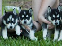 Siberian Husky For Sale In Florida Classifieds Buy And Sell In