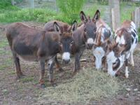Linda Volpe has four Miniature Sicilian Donkeys for