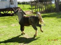 Nice AMHR registered black and white pinto stallion,