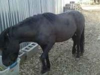 Miniature Stallion Horse for Sale $300. Please call