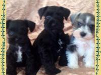 3 lovely tiny Schnauzers ckc registered & &