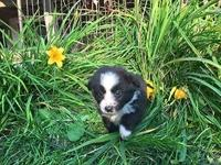 Miniature & Toy Australian Shepherds, two litters, born