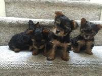 These are purebred Yorkshire Terrier pups. Extremely