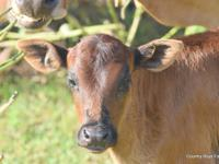 We have Miniature Zebu Bull Calves ($500 & up), Heifer