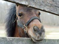 Miniature Horse - Finster - Small - Young - Male -