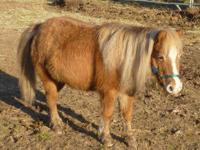 Miniature Horse - Ginger - Small - Adult - Female -