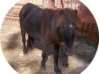 Miniature Horse - Sassy - Small - Adult - Female -