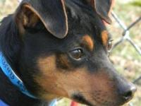 Miniature Pinscher - Chico - Small - Adult - Male -