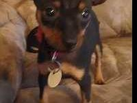 Miniature Pinscher - Dale - Small - Baby - Male - Dog