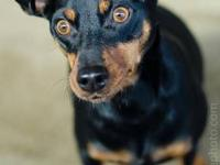 Miniature Pinscher - Glenna - Small - Adult - Female -