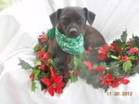 Miniature Pinscher - Mater - Small - Adult - Male -