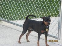 Purebred Miniature Pinscher (Min Pin) puppies, 1 Male